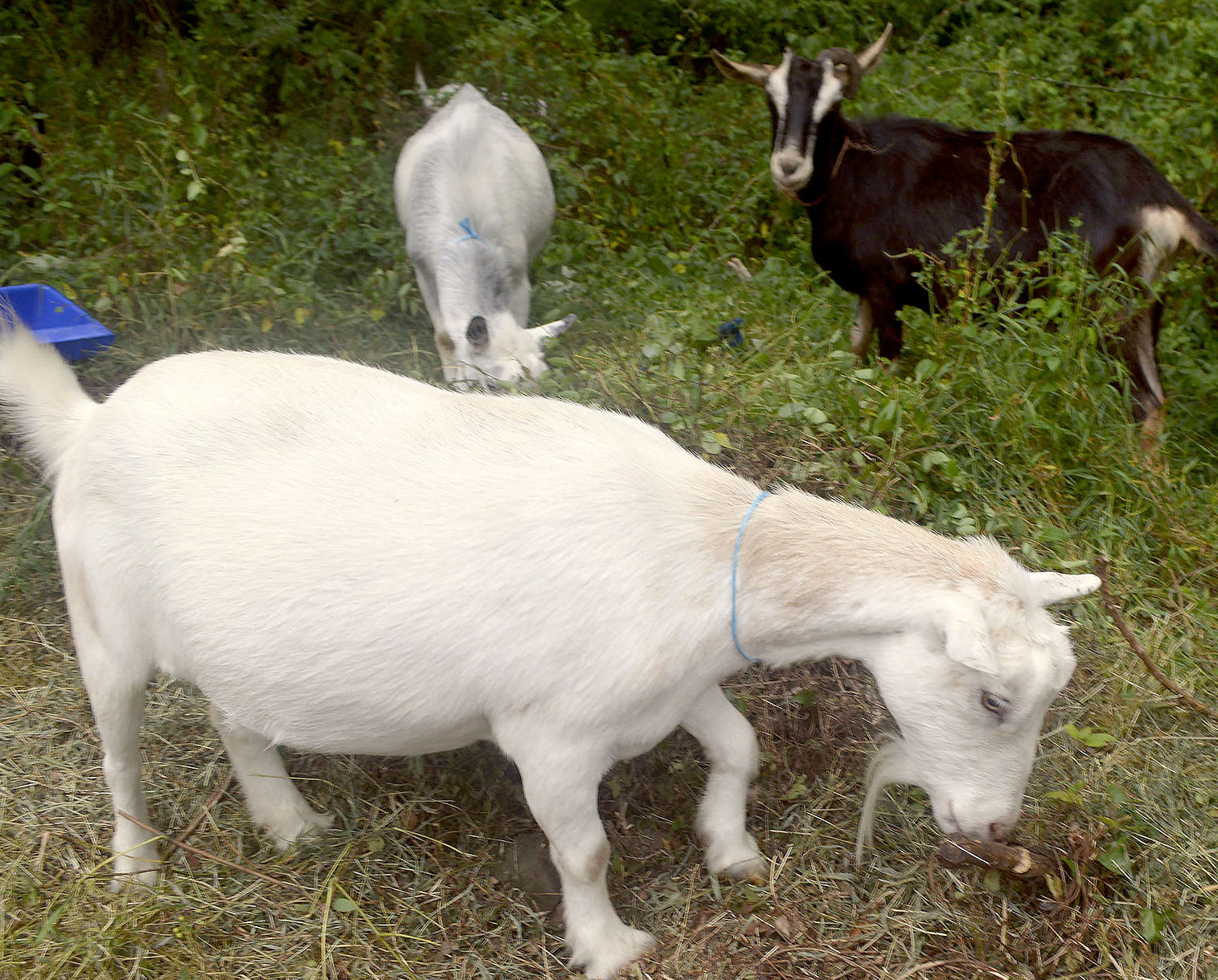 Goats from Green Goats farm in Rhinebeck, N.Y., lunch on poison ivy and other invasive plants after arriving earlier in the day at the Nature Center in Fanwood, NJ, Monday, Aug. 10, 2015. The goats are being used to rid the center of several invasive plants. (Photo by Brian Horton)